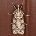 Double-striped Scoparia Moth - Photo (c) johnguerin, some rights reserved (CC BY-NC)
