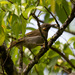 Northern Wattled-Honeyeater - Photo (c) Mark Rosenstein, some rights reserved (CC BY-NC-SA)