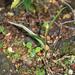 Pterostylis irwinii - Photo (c) memopob, osa oikeuksista pidätetään (CC BY-NC)