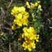 Calicotome villosa - Photo (c) Joachim Louis, algunos derechos reservados (CC BY-NC-ND)