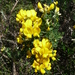 Spiny Broom - Photo (c) Joachim Louis, some rights reserved (CC BY-NC-ND)