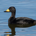 Black Scoter - Photo (c) Greg Lasley, some rights reserved (CC BY-NC)