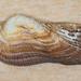 Almeja de Arca - Photo (c) BJ Stacey, algunos derechos reservados (CC BY-NC)