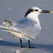 Sandwich Tern - Photo (c) BJ Stacey, some rights reserved (CC BY-NC)