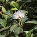 Syzygium australe - Photo (c) James Bailey, μερικά δικαιώματα διατηρούνται (CC BY-NC)