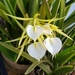 Brassavola - Photo (c) CheongWeei Gan, some rights reserved (CC BY-NC)