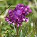 Trifolium burchellianum - Photo (c) Brendan Cole, alguns direitos reservados (CC BY-NC-ND)