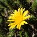 Cullumia squarrosa - Photo (c) guillaume_papuga, algunos derechos reservados (CC BY-NC)