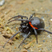 Steatoda paykulliana - Photo (c) Bernard DUPONT, some rights reserved (CC BY-SA)