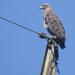 Águila Coronada - Photo (c) Ronald Péret, algunos derechos reservados (CC BY-NC)