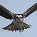 Aguila Pescadora - Photo (c) Tony Belejack, algunos derechos reservados (CC BY)