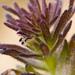 Triphysaria pusilla - Photo (c) Ken-ichi Ueda, algunos derechos reservados (CC BY)