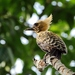 Ochre-backed Woodpecker - Photo (c) Hector Bottai, some rights reserved (CC BY-SA)