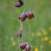 Fritillaria meleagroides - Photo (c) Alexei Ebel, some rights reserved (CC BY-NC)