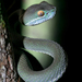 Cardamom Mountains Green Pitviper - Photo (c) Dreamtime Nature Photography, some rights reserved (CC BY-NC)