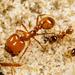 Hormiga de Fuego Tropical - Photo (c) Meghan Cassidy, algunos derechos reservados (CC BY-SA)