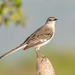 Typical Mockingbirds - Photo (c) Allan Hopkins, some rights reserved (CC BY-NC-ND)