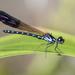 Heliocypha perforata - Photo (c) budak, algunos derechos reservados (CC BY-NC)