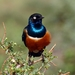 Superb Starling - Photo (c) mikeloomis, some rights reserved (CC BY-NC)