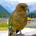 Kea - Photo (c) Emily, some rights reserved (CC BY-NC)