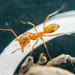 Dorymyrmex flavus - Photo (c) Meghan Cassidy, some rights reserved (CC BY-SA)