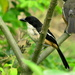Eastern Boubou - Photo (c) Peter Vos, some rights reserved (CC BY-NC)