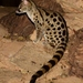 Rusty-spotted Genet - Photo (c) mikeloomis, some rights reserved (CC BY-NC)