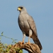 Eastern Chanting-Goshawk - Photo (c) mikeloomis, some rights reserved (CC BY-NC)