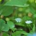 Stellaria bungeana - Photo (c) svetlanaagafonova, algunos derechos reservados (CC BY-NC)