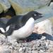 Pingüino de Adelia - Photo (c) Greg Lasley, algunos derechos reservados (CC BY-NC)