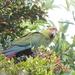 Slender-billed Parakeet - Photo (c) Alexander Görlt, some rights reserved (CC BY-NC)