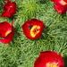 Paeonia tenuifolia - Photo (c) Lena Struwe, osa oikeuksista pidätetään (CC BY-NC)