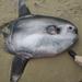Mola Coliaguda - Photo (c) steelfoot, algunos derechos reservados (CC BY-NC)