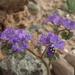Phacelia crenulata ambigua - Photo (c) Jim Morefield, algunos derechos reservados (CC BY)