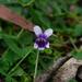 Viola eminens - Photo (c) Wayne Martin, μερικά δικαιώματα διατηρούνται (CC BY-NC)