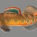 Etheostoma spilotum - Photo (c) U.S. Fish and Wildlife Service Southeast Region, osa oikeuksista pidätetään (CC BY)
