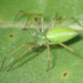 Lesser Green Lynx Spider - Photo (c) Keir Morse, some rights reserved (CC BY-NC-ND)