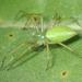 Araña Línce Verde Menor - Photo (c) Keir Morse, algunos derechos reservados (CC BY-NC-ND)