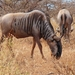 Common Wildebeest - Photo (c) kangwane, some rights reserved (CC BY-NC), uploaded by James Culverwell