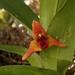 Maxillaria elatior - Photo (c) Victor De la Cruz, algunos derechos reservados (CC BY)