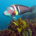 Eastern King Wrasse - Photo (c) sarahmilicich, some rights reserved (CC BY-NC)