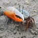 Indo-West Pacific Fiddler Crabs - Photo (c) Colin Trainor, some rights reserved (CC BY-NC)