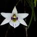 Dendrobium cunninghamii - Photo (c) Leon Perrie, algunos derechos reservados (CC BY)