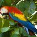 Guacamaya Roja - Photo (c) Scott Cox, algunos derechos reservados (CC BY-NC-ND)