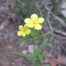 Lithospermum mirabile - Photo (c) Chuck Sexton, osa oikeuksista pidätetään (CC BY-NC)