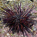 Central American Rock-boring Urchin - Photo (c) Steven Mlodinow, some rights reserved (CC BY-NC)