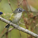 Blue-headed Vireo - Photo (c) Kelly Colgan Azar, some rights reserved (CC BY-ND)