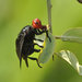 Fruit, Signal, and Picture-winged Flies - Photo (c) Seth, some rights reserved (CC BY)