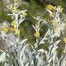 Pentanema verbascifolium - Photo (c) Jakob Fahr, osa oikeuksista pidätetään (CC BY-NC)