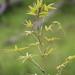 Bambusa multiplex - Photo (c) tangatawhenua, μερικά δικαιώματα διατηρούνται (CC BY-NC)